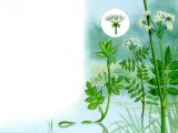 Aquatic Plants - Fools watercress, Lesser water-parsnip, Greater water parsnip, BT097