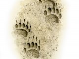 Badger (Meles meles) Footprints M003