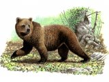 Bear (Brown) Ursus arctos M001