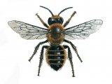 Bee (Willughby