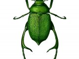 Shining Leaf Chafer Beetle (male) (chrysophora chrysochlora) IN001