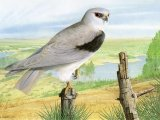 Black-shoulderd Kite (Elanus caeruleus) BD0506