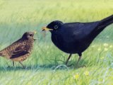 Blackbird male & chick (Turdus merula) BD0261