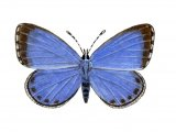 Holly Blue (female) Celastrina argiolus IN003