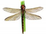 Dragonfly (Brown Hawker) Aeshna grandis IN001