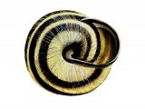 Snail (Brown-lipped) Cepaea nemoralis OS002