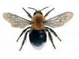 Bumblebee (Tree)) Bombus hypnorum IN001