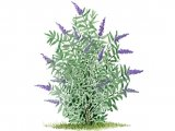 Butterfly Bush (Buddleia davidii) B003