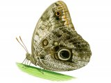 Caligo memnon (Owl Butterfly) IN001