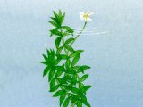 Canadian Pond Weed (Elodea canadenis) B001