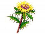 Carline Thistle (Carlina vularis) B001