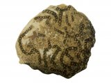 PF008 - Chain Coral fossil Halysites