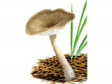 Clitocybe ditopa (Mealy Frosted Funnel) FU014