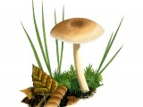 Clitocybe fragrans (Fragrant Funnel) FU007