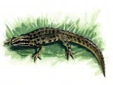 RA101 - Common Newt (Lissotriton vulgaris)