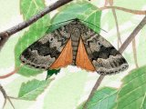 Copper Underwing (Amphipyra pyramidea) IN001