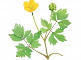 Creeping buttercup (Ranunculus repens) B001