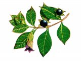 Deadly Nightshade (Atropa belladonna) B001