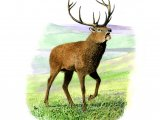 Deer (Red) Stag (Cervus elaphus) M002