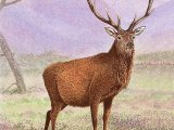 Deer (Red) Stag (Cervus elaphus) M005,