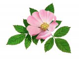 Dog Rose (Rosa canina) B003