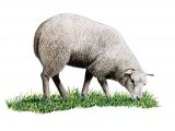 Domestic sheep (Ovis aries) M001