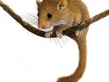 Dormouse (Muscardinus avellanarius) M002