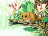 Dormouse (Muscardinus avellanarius) M003