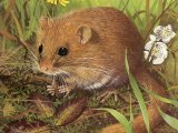 Dormouse (Muscardinus avellanarius) M004