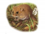 Dormouse (Muscardinus avellanarius) M005