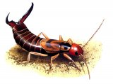 IN070 - Earwig (male) Forticula auricularia