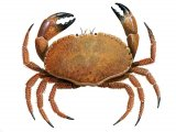 Edible Crab (Cancer pagurus) OS001