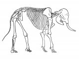 Elephant Skelleton (Asian) Elephas maximus M002