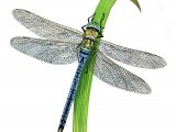 Dragonfly (Emperor) Anax imperator IN002