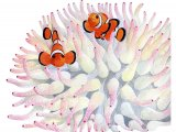 F261 - Clownfish (Amphiprion ocellaris)
