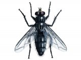 Flesh Fly (Sarcophaga carnaria) IN001