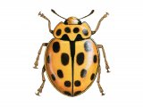 Fourteen-Spot Ladybird (Black on Yellow) Propylea 14-puncata IN001