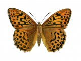 Fritillary (Silver-washed) Argynnis paphia IN001