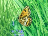 Fritillary (Small pearl-bordered) Boloria selene IN001