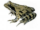 RA132 - Common Frog ( Rana temporaria)