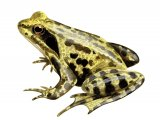 RA133 - Common Frog (Rana temporaria)