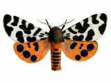 Garden Tiger Moth (Arctia caja) IN002