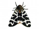 Garden Tiger Moth (Arctia caja) IN004