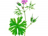 Geranium dissectum (Cut-leaved Cranes-bill) B007