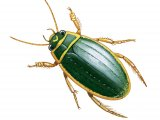 Great Diving Beetle (Dytiscus marginalis) IN001