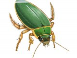 Great Diving Beetle (Dytiscus marginalis) IN003