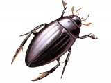 Great Silver Beetle (Hydrous piceus) IN001
