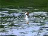 Great Crested Grebe (Podiceps cristatus) BD004
