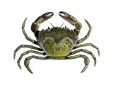 Green Shore Crab (Carcinus maenas) OS001