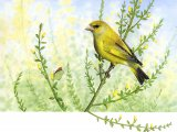 Greenfinch (Carduelis chloris) B001